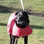 Pet Safe Citronella Bark Collar Review – Part Deux
