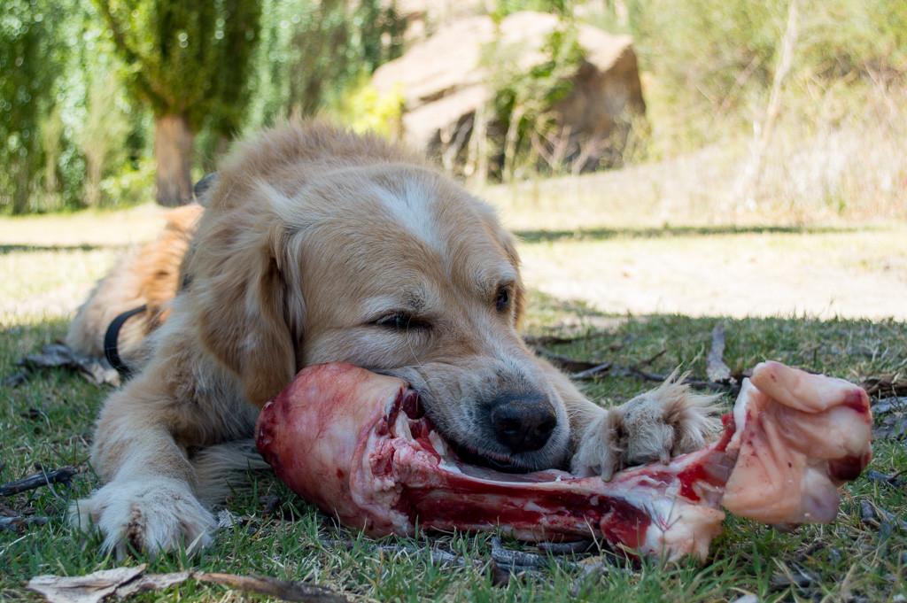 Paws xmas bone